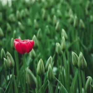 Mijn kind is anders, 1 bloeiende tulp in een veld