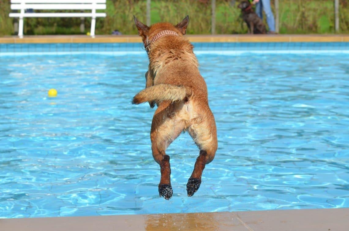 Hond afkoelen bij warm weer: hond springt in zwembad
